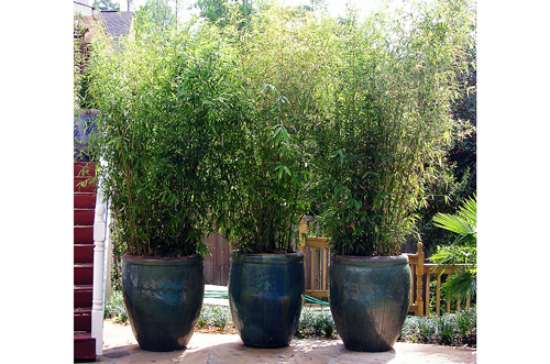 Potted Bamboo Privacy Screening